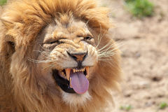 Lion pulling a funnny face. Animal tongue and canine teeth.