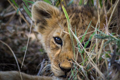 Lion Puppy Photos libres de droits