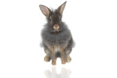 Lion rabbit 2 Royalty Free Stock Photo