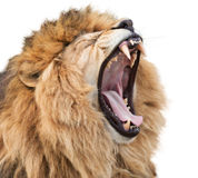 Lion rage. Angry golden lion isolated on white background Royalty Free Stock Image
