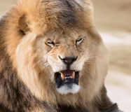 Lion rage. Powerful angry lion in nature Royalty Free Stock Photo