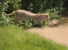 Lion rangé Photo stock