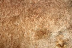 Lion real textured fur Stock Images