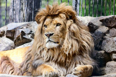 Lion. Recumbent lion at the zoo Stock Photography