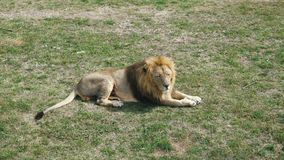 Lion with a red mane in a zoo. The lion lie and rest on the territory of the zoological park stock video