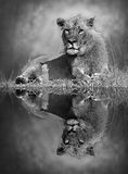 Lion with reflection. Black and white image with a reflection in the water Royalty Free Stock Images