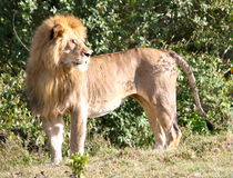 Lion regardant dans infini Photo stock