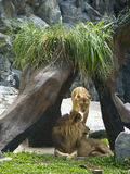 Lion regardant fixement dans le zoo Photographie stock