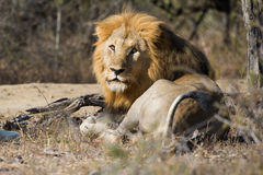 Lion regardant l'appareil-photo Afrique du Sud Photographie stock libre de droits