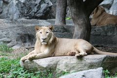 Lion on a big rock. The lion relax on a big rock in the zoo Royalty Free Stock Photo