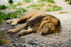 Lion relaxing Royalty Free Stock Photography