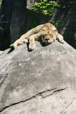 Lion relaxing Royalty Free Stock Images