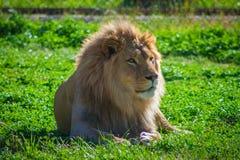 Lion Relaxing Lizenzfreies Stockbild