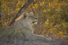 Lion relaxing in african bush Stock Photos