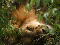 Lion relaxing in the bush Stock Photography