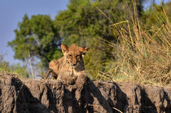 Lion relaxing on a cliff Royalty Free Stock Images