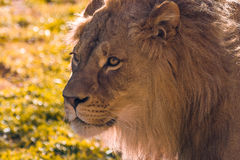 Lion Relaxing. Close up photo of a Lion relaxing in the grass Stock Images