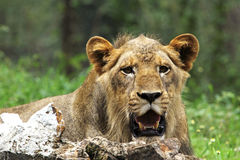 Lion relaxing, closeup shot Stock Photos