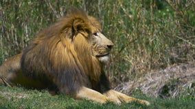 Lion Relaxing in Groen Gras naast Leeuwin, 4K stock videobeelden