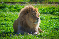 Lion Relaxing. Photo of a Lion relaxing in the grass Royalty Free Stock Image