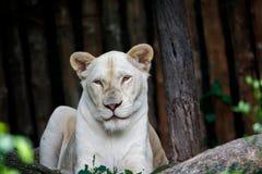 Lion Relaxing On The Rock femenino, Live In Open Zoo foto de archivo libre de regalías