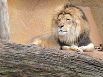 Lion Relaxing on Rocks Stock Photo