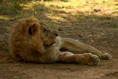 Lion Relaxing In The Shade Stock Photos