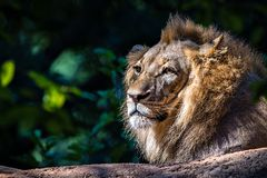 Lion relaxing in the sun Royalty Free Stock Photography