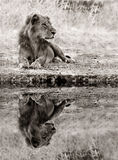 Lion Relaxing at the waters edge. Perfect reflection of a male Lion relaxing in the wild Royalty Free Stock Image