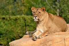 Lion relx. Lion relaxed on the rocks Stock Photography