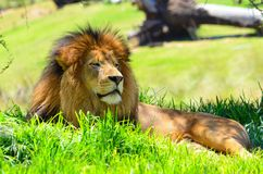 Lion in Repose. The king of the jungle surveying all he commands Royalty Free Stock Photo