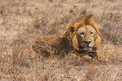 Lion at rest Royalty Free Stock Image