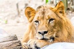 Lion Rest hermoso poderoso joven Fotografía de archivo libre de regalías