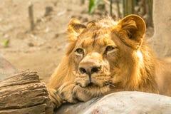 Lion Rest hermoso poderoso joven Imágenes de archivo libres de regalías