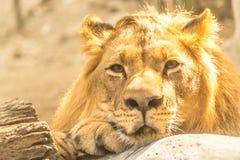 Lion Rest hermoso poderoso joven Imagen de archivo