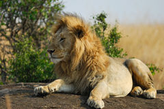 Lion rest upon the rock Royalty Free Stock Image