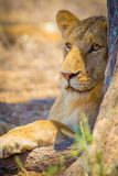 Lion rest together with the pride in Serengeti. Large lioness in Serengeti Tanzania, Africa. Rests at the savannah Royalty Free Stock Images