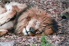 Lion at Rest. Upper body of a lion resting in fall leaves Royalty Free Stock Photography