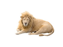 Lion at rest. On a white background Stock Images