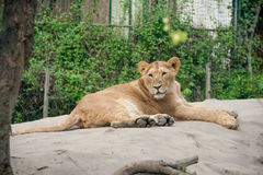 Lion at rest Stock Photos