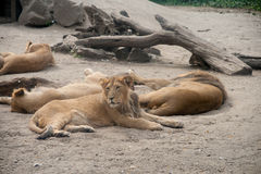 Lion at rest Stock Photo