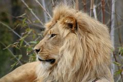 Lion at rest at a zoo in California royalty free stock images
