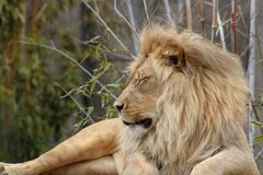 Lion at rest at a zoo in California royalty free stock photography