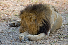 Lion resting. A lion resting in the afternoon royalty free stock photos