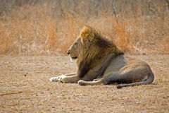 Lion resting. A lion resting in the wild royalty free stock photo