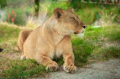 Lion Resting imagen de archivo