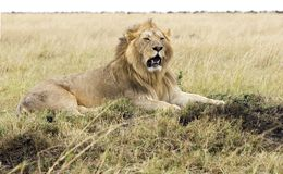 Lion Resting. A male lion lies on a termite mound in the Mara Royalty Free Stock Photography