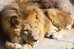 Lion resting. Male Lion taking a nap Royalty Free Stock Photos