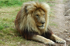 Lion resting. A lion male resting in a game park in South Africa Stock Images
