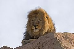 Lion resting. A lion resting on a rock Stock Images